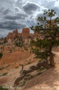 Twisted Pine, Bryce Canyon
