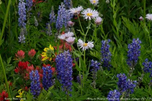 Wildflowers near Rabbit Ears Pass