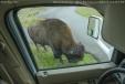 Bison outside