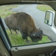 Bison outside