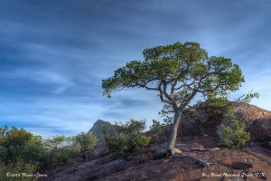 Lone Tree, Lost Mine Hike, Big Bend