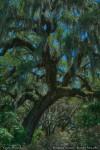 Live Oak: Brookgreen Gardens