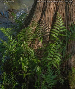Cypress and ferns, Okefenokee Swamp, GA