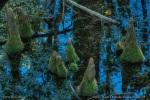 Cypress Knees, Okefenokee Swamp, GA