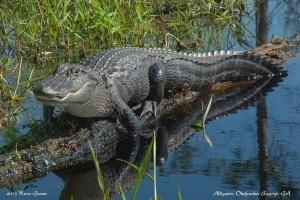 Alligator, Okefenokee Swamp, GA