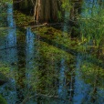 Cypress and reflections, Okefenokee Swamp, GA