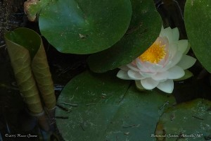 Water Lily: Asheville Botanical Garden