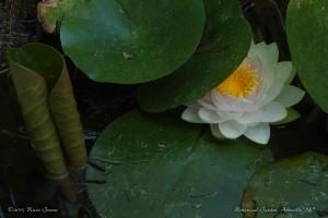 Water Lily: Asheville Botanical Garden