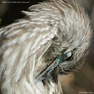 Immature black-crowned heron preening.