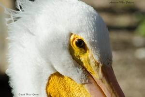 American white pelican.