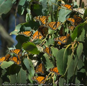 Monarch butterflies over-wintering on a eucalyptus tree in Albany, CA. These must have been 30' off the ground. The view with my 8x42 Monarch 7 binoculars was so much better than the naked eye, roughly equivalent to this photo made with a 450mm telephoto lens.