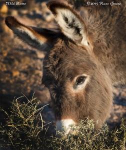 Wild Burro photographed at the Imperial Dam LTVA near Senator Wash, CA