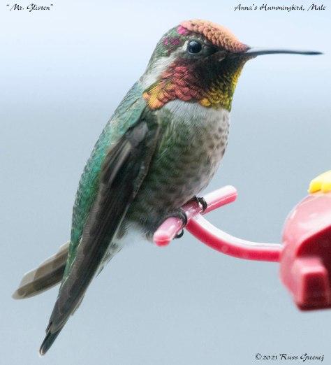 Close-up of male Anna's hummingbird