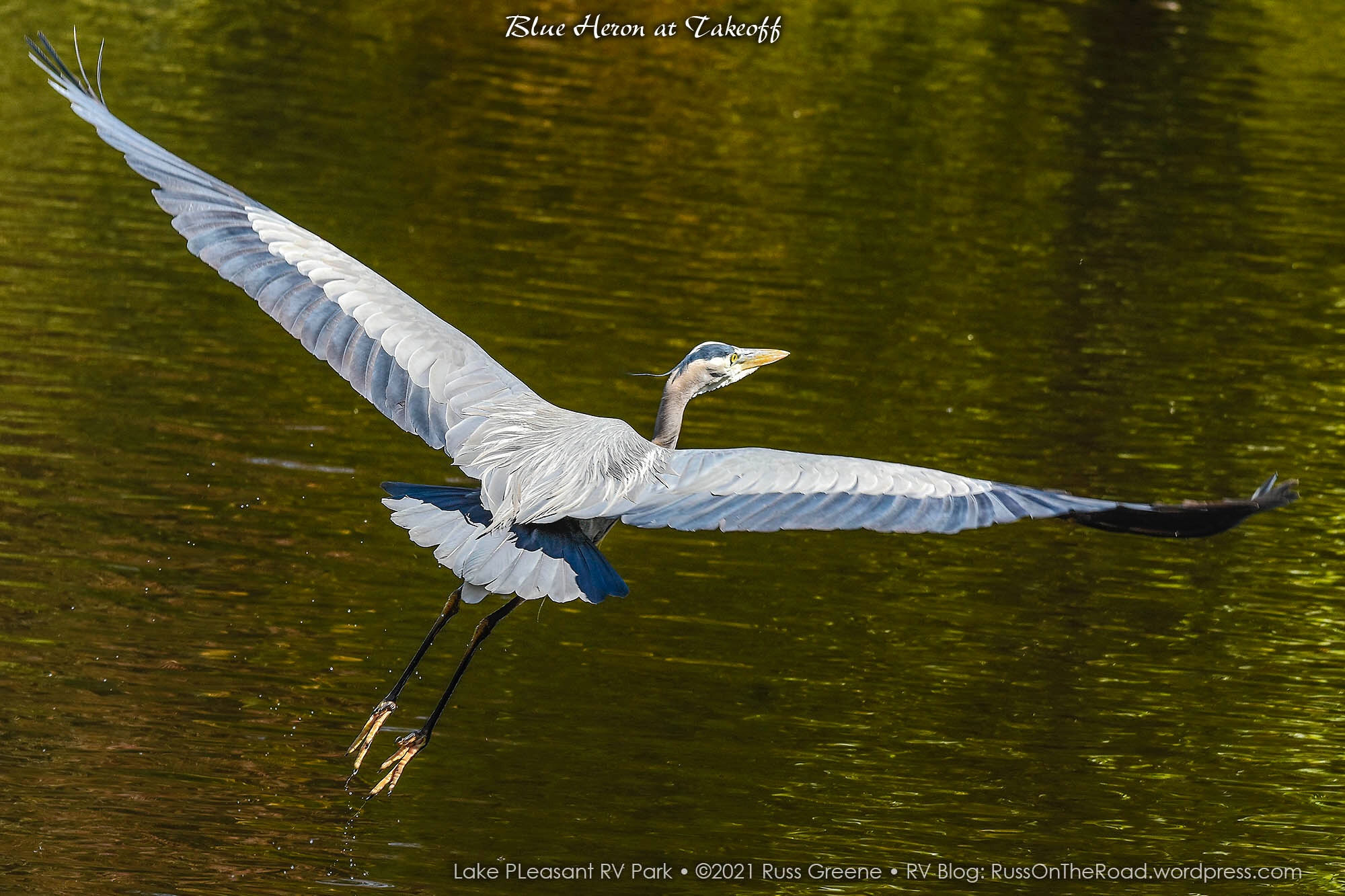 A great blue heron at takeoff.