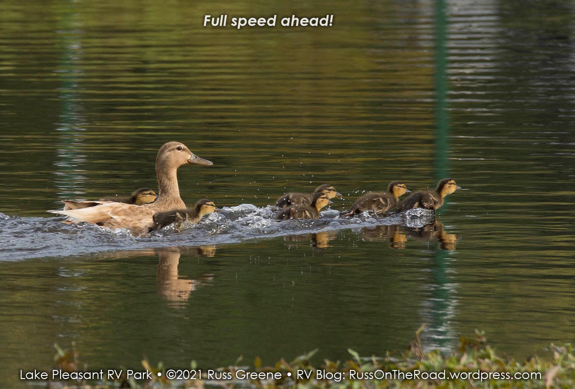 Ducklings at top speed.