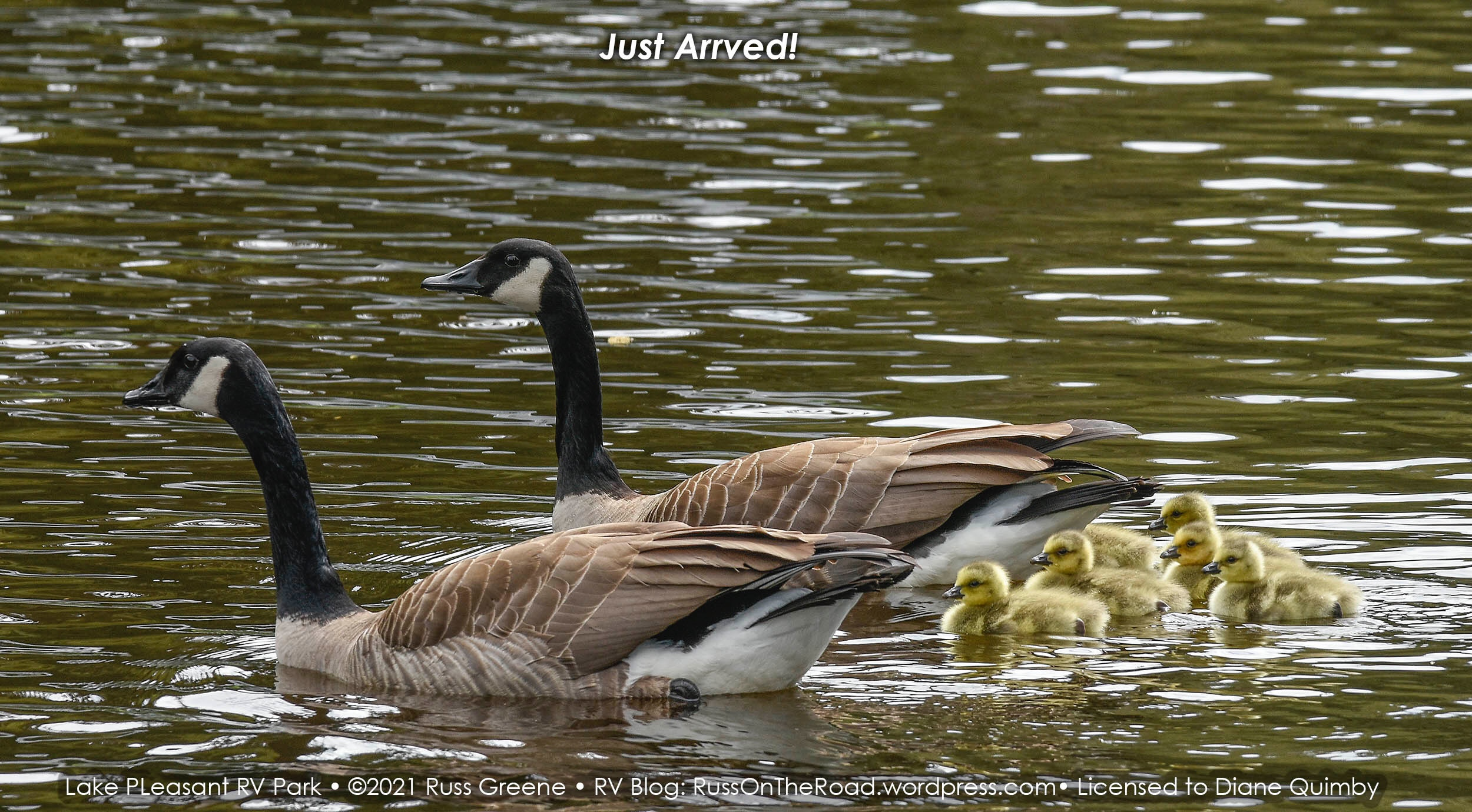 Mother goose and goslings in the water