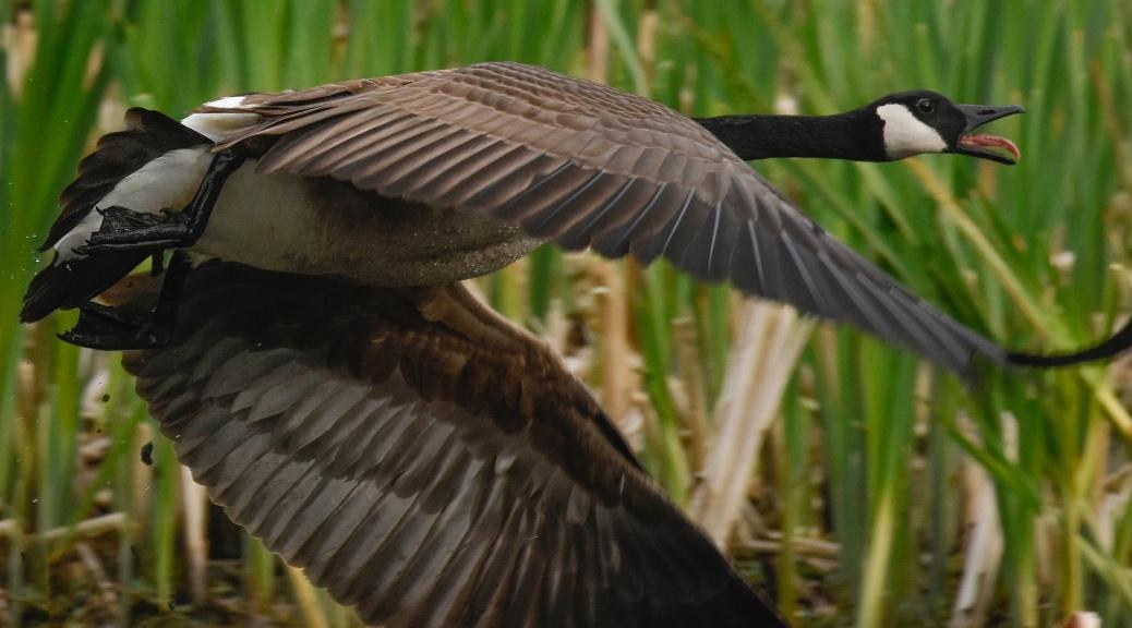 Goose in flight, squawking as it goes.
