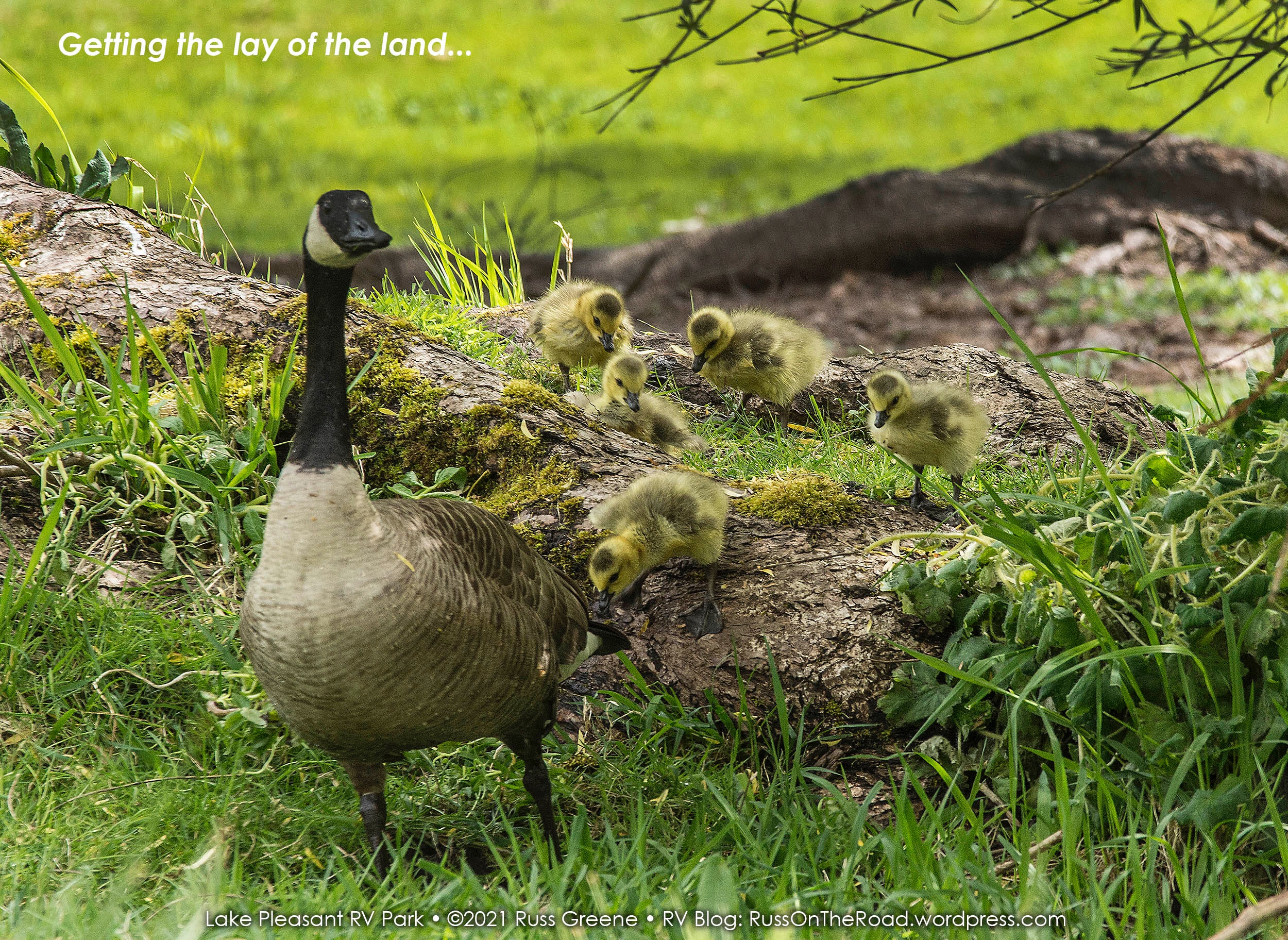 Goslings learning their way around
