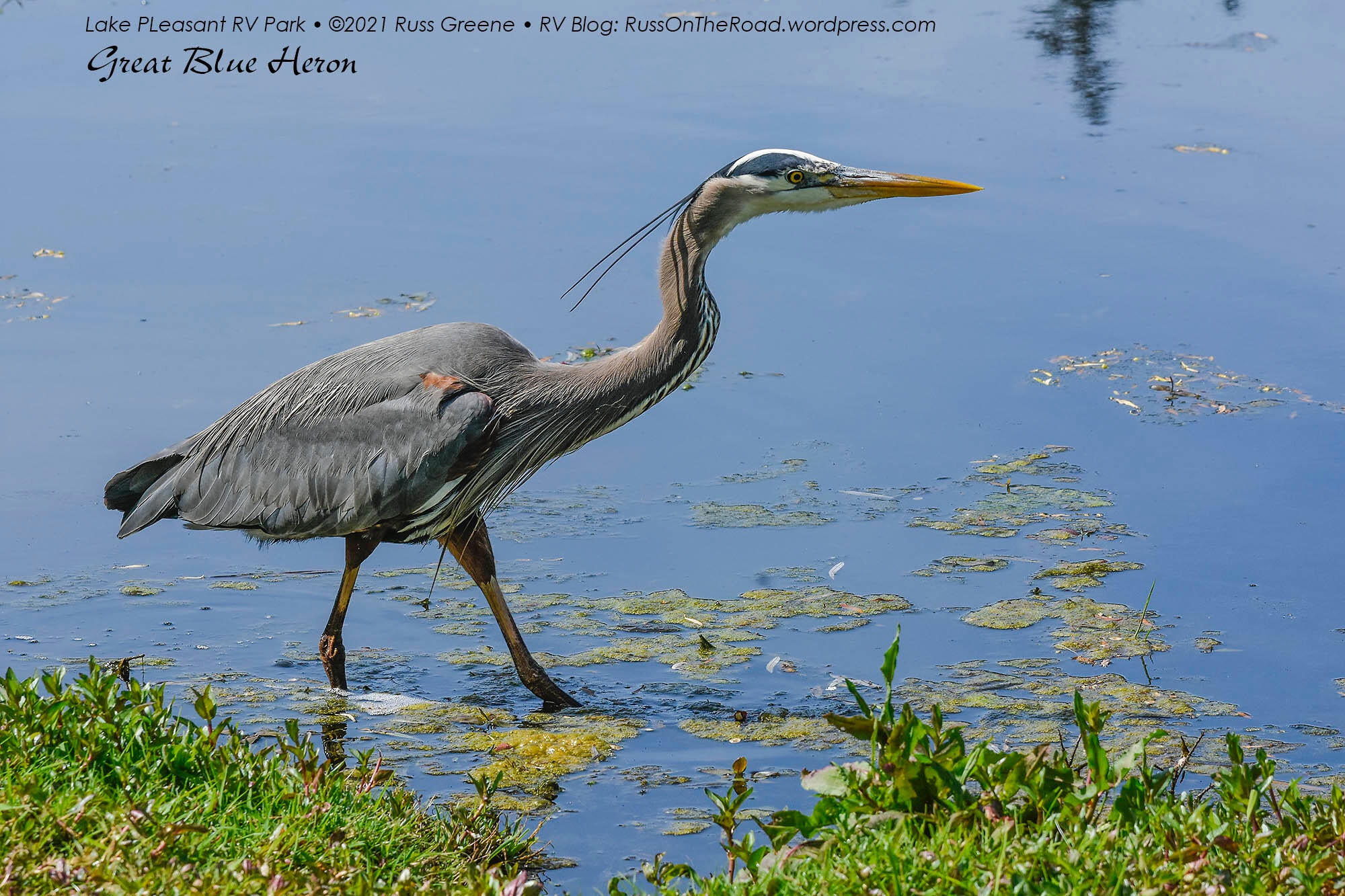 A great blue heron on the hunt.