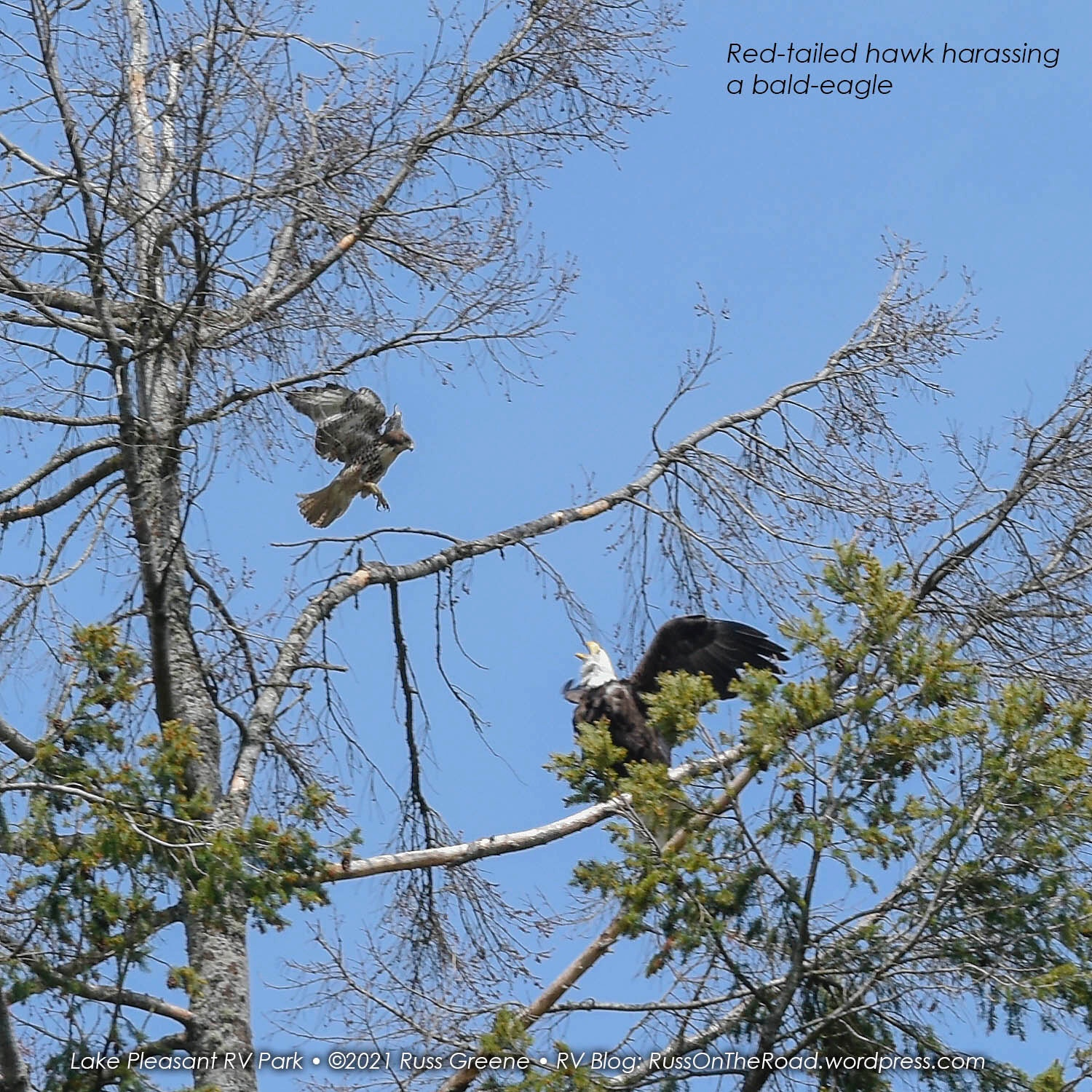 A red-tailed hawk harasses a bald eagle in a territorial dispute.