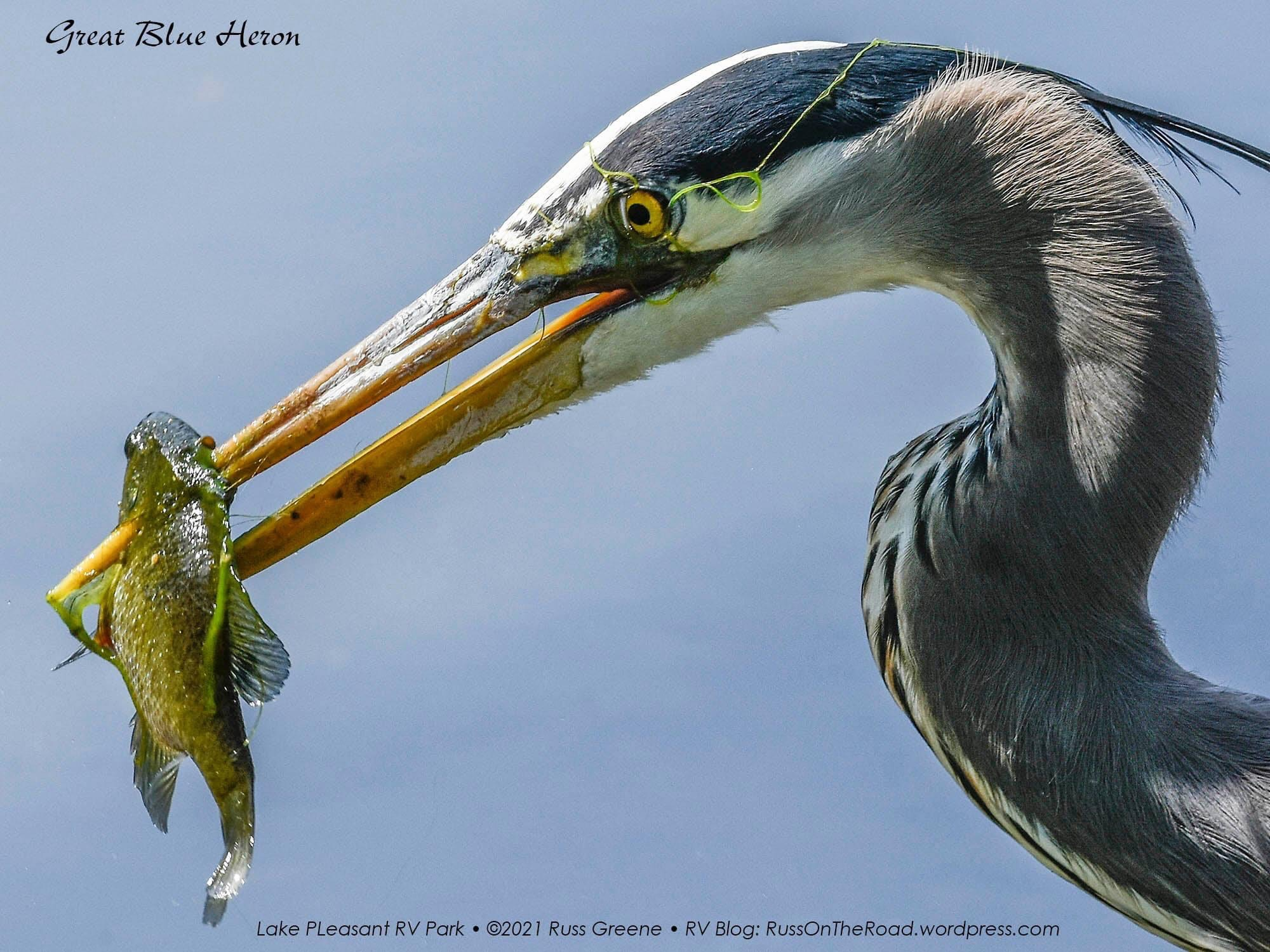 Great blue heron and prey.
