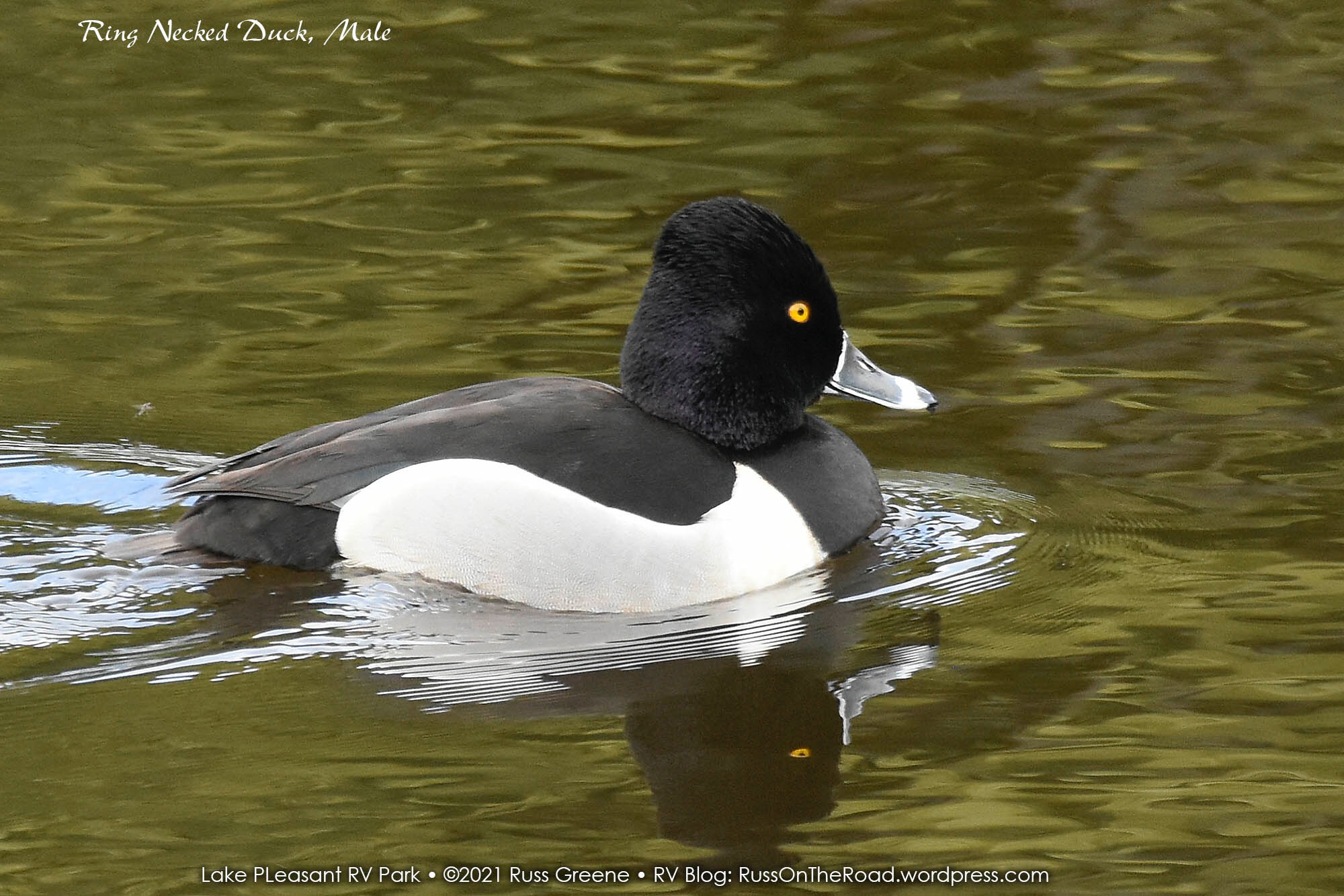 Male ring-necked duck.